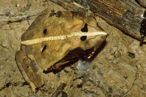 Bestens getarnter Hornfrosch,  der zwischen dem Laub kaum auszumachen ist.