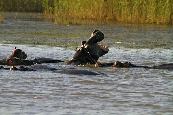 Der 65 Kilometer lange See des St. Lucia Wasserschutzgebietes ist Heimat vieler Flusspferde.
