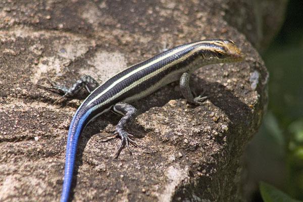 Blauschwanz Tag - Gecko
