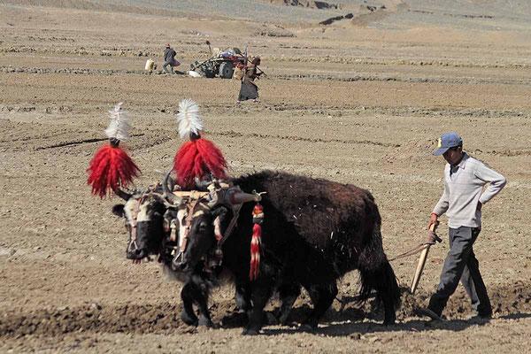 Bauern bei der Feldarbeit auf dem Weg von Shigatse nach Gyantse.