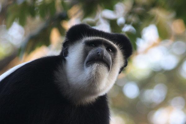 Colobus – Schimpanse am Awasa - See.
