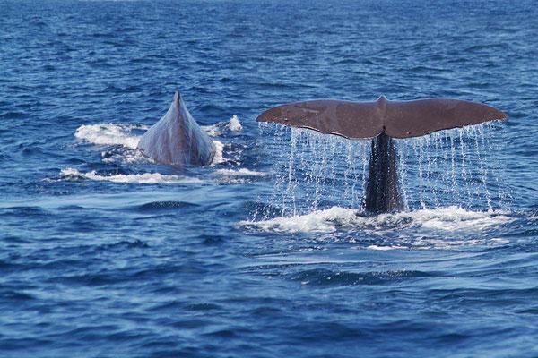 Wale Watching auf offener See vor Kaikoura.