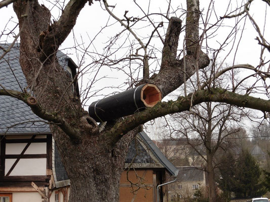 Steinkauzbrutröhre in einem alten Obstbaum