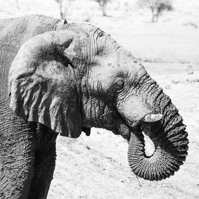 Namibia Memos 2017 - The big one of the big five :: Copyright Martin Schmidt, Fotograf für Schwarz-Weiß Fine-Art Architektur- und Landschaftsfotografie aus Nürnberg