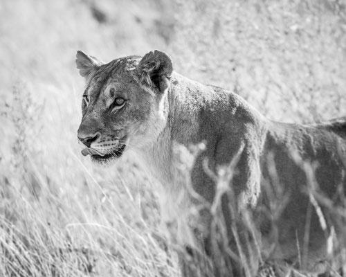 Namibia Memmos 2017 - Die Königin der Big Five :: Copyright Martin Schmidt, Fotograf für Schwarz-Weiß Fine-Art Architektur- und Landschaftsfotografie aus Nürnberg