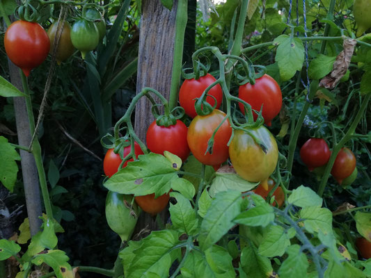 Gartenträume - Garden dreams / Tomato Vesuvio