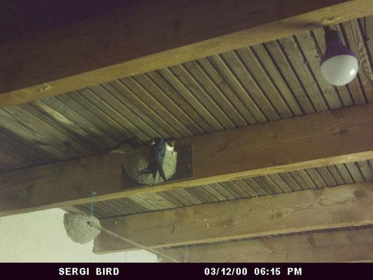 nourrissage hirondeaux nid hirondelle rustique