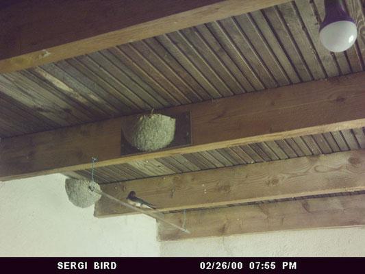 hirondeaux nid hirondelle rustique