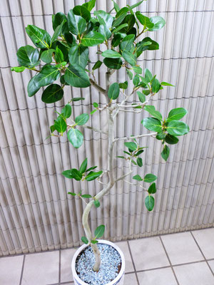 フィカス・ベンガレンシス    h:170cm ¥19,500-(tax込)