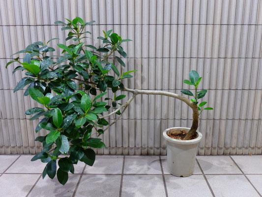 ガジュマル(曲がり) h : 100cm   w : 120cm   ¥13,500-(tax込)