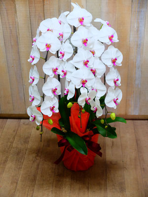 胡蝶蘭 ¥22,000-(tax込) 時には気分を変えて!赤リップの胡蝶蘭も喜ばれます!