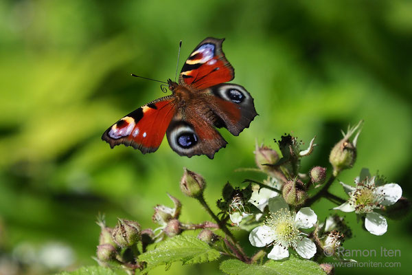 European peacock  (Aglais io) flies in the undergrowth