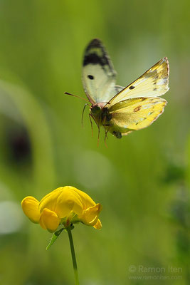 Pale clouded yellow (Colias hyale) in flight