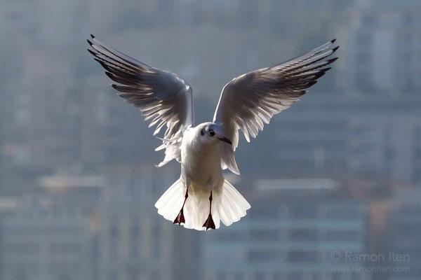 Black-headed gull (Larus ridibundus) in front of the backdrop of Lugano