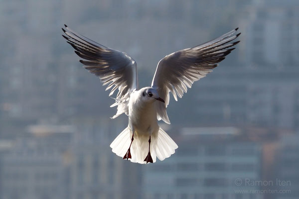 Black-headed gull (Larus ridibundus) in front of the backdrop of Lugano