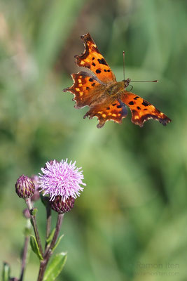 Comma butterfly (Polygonia c-album) in flight