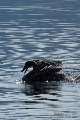 Bathing mute swan (Cygnus olor)