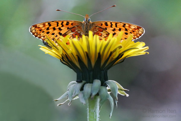 Small pearl-bordered fritillary (Boloria selene) perching on dandelion