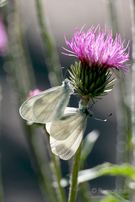 Mating wood white (Leptidea sinapsis)