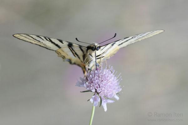 Sail swallowtail (Iphiclides podalirius)