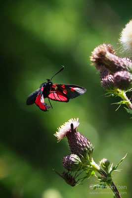 New forest burnet (Zygaena viciae) in flight