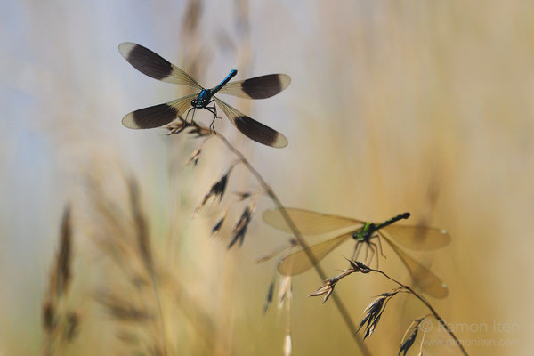 Banded demoiselle (Calopteryx splendens) taking off