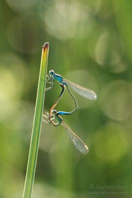 Mating damselflies (Coenagrion)