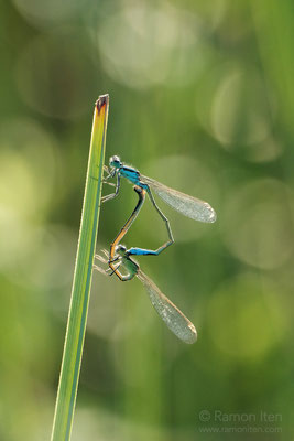 Mating damselflies (Coenagrion)