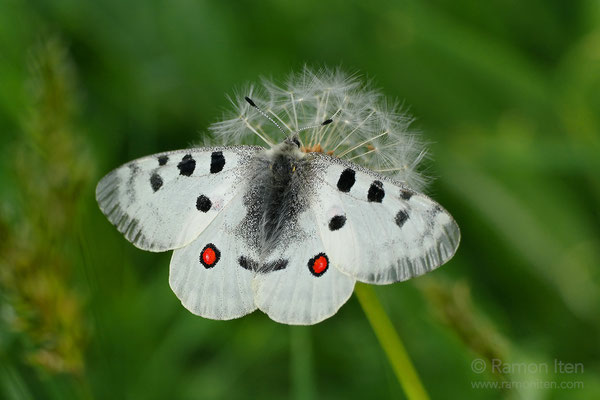 Appolo (Parnassius apollo) on faded dandelion