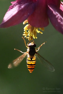 Marmalade hoverfly (Episyrphus balteatus) in evening light