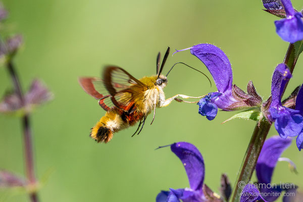 Broad-bordered bee hawk-moth  (Hemaris fuciformis) on meadow clary