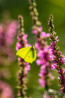 Common brimstone (Gonepteryx rhamni) between purple loosestrife