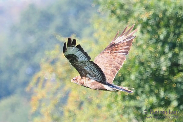 Mäusebussard (Buteo buteo) fliegt durchs Herbstlicht