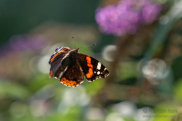 Red admiral (Vanessa atalanta) flies through evening light