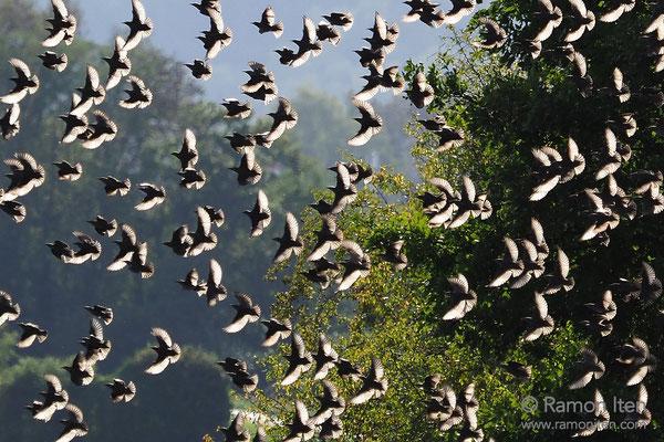 Common starlings (Sturnus vulgaris) in sunlight