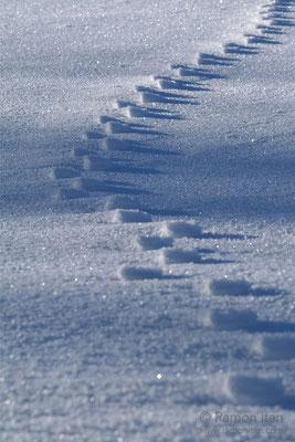 Frozen animal track on snow