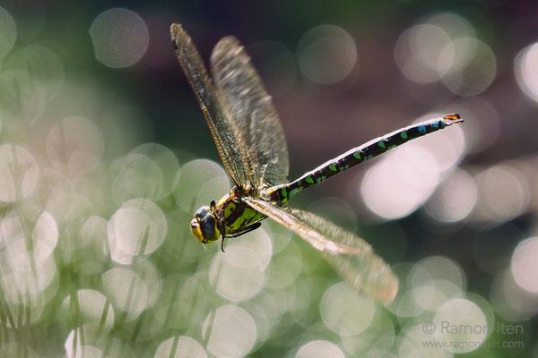 Blaugrüne Mosaikjungfer (Aeshna cyanea) im Flug