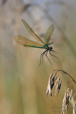 Beautiful demoiselle (Calopteryx virgo) before landing
