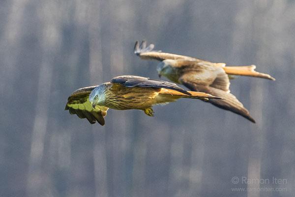 Two red kites (Milvus milvus)