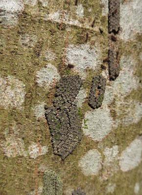 喜蔵さんがクマノミズキの幹を指さした。何か変な物が貼り付いている。聞くとキアシドクガの卵の跡だという。幹全体に貼り付いている。かなりの数だ。キアシドクガの幼虫はミズキの葉を食べる。確かにこの数だと木が丸坊主になるのは理解できる。 2021年3月23日(火):晴