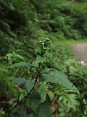 令和3年7月29日(日曜日) 天候:曇  高尾山で最初に発見されたタカオヒゴタイ。高尾山域で確実に見られる自生地は2か所。その内1か所に草刈り作業が行われたという情報が入った。気になって行ってみたが無事だった。葉だけの株も含めて6株確認。内3株は蕾を付けていた。秋が楽しみだ。