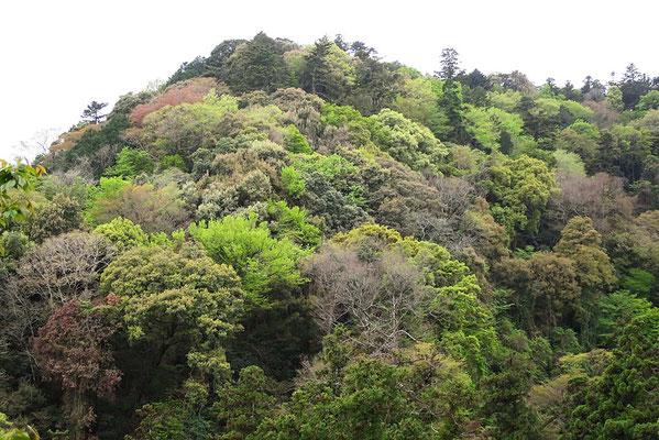 1号路を布流滝跡から登ると対岸の斜面を見られる場所がある。急斜面で植林が出来ず、高尾山の原生植生といわれている。いつもは落ち着いた森なのだが、この日は常緑樹も落葉樹も芽吹きで明るかった。2021年4月13日(火):曇
