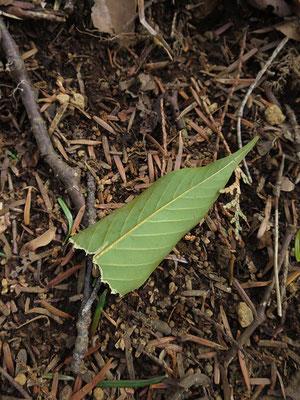 ムササビの食痕と思われるアカガシの葉を見つけた。以前は食べ方にルールがあり、葉を二つに折ってパクッと齧っていたのだが、最近は色々な食べ方をする。この葉はどのような食べ方をしたのだろうか。2021年3月16日(火):晴