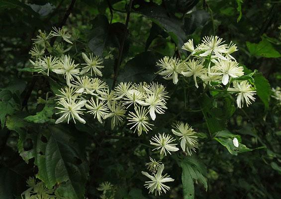 令和3年7月29日(日曜日) 天候:曇  大平林道でボタンヅル(コボタンヅル?)が咲いていた。夏もそろそろ終わりだな。