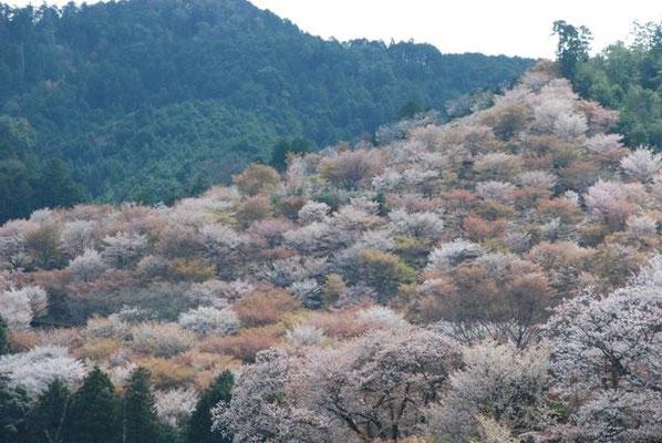 Yoshino Senbon-zakura