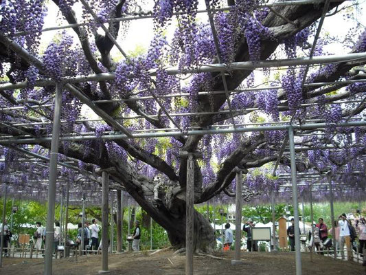 Ashikaga Flower Garden