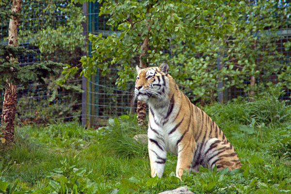 Tiger at Dublin Zoo