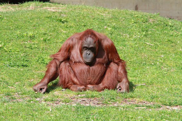 Mammy Ape at Dublin Zoo