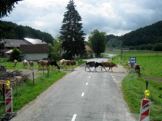 Die karierten Kühe der südlichen Steiermark