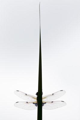 Vierflecklibelle